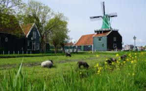 Holandia jednym z najczęściej wybieranych kierunków do celów zarobkowych wśród…